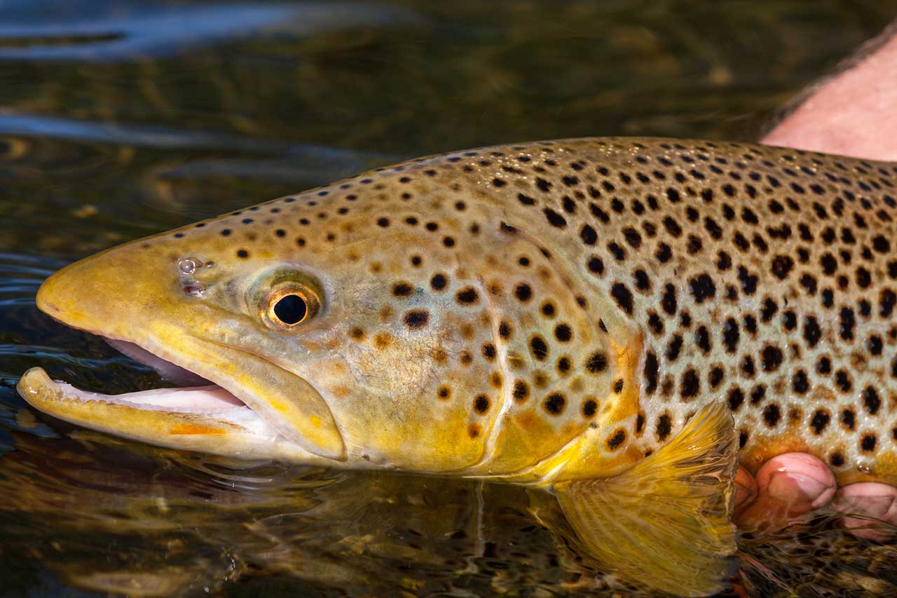 brown trout scotland